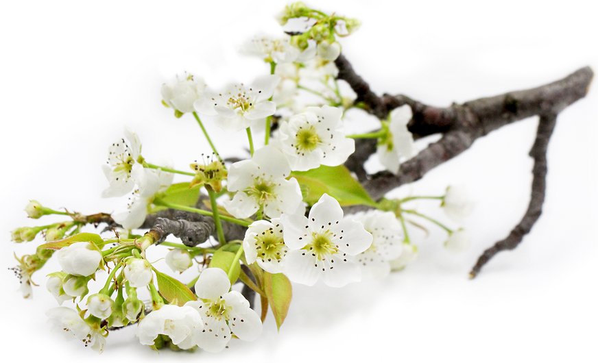 Pear blossoms information and facts pear blossoms mightylinksfo