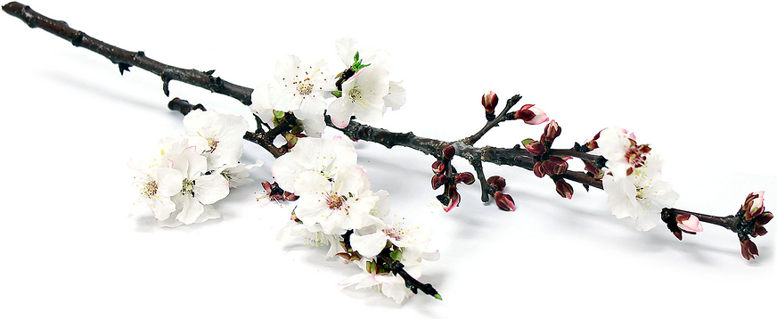 Apricot Blossoms picture