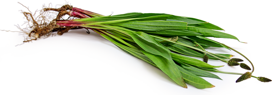 Ribgrass Plantain picture