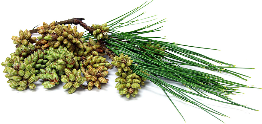 Foraged Pine Pollen Cones Information, Recipes and Facts