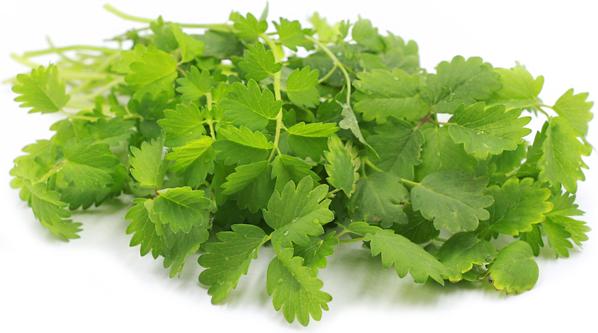 Salad Burnet picture