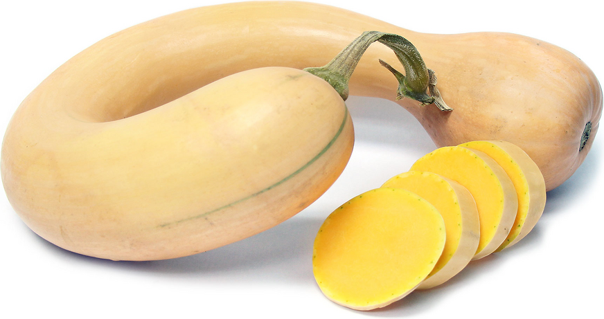Dutch Crookneck Squash
