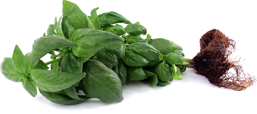 Hydro Basil picture