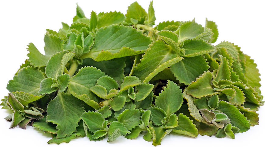 Cuban Oregano picture