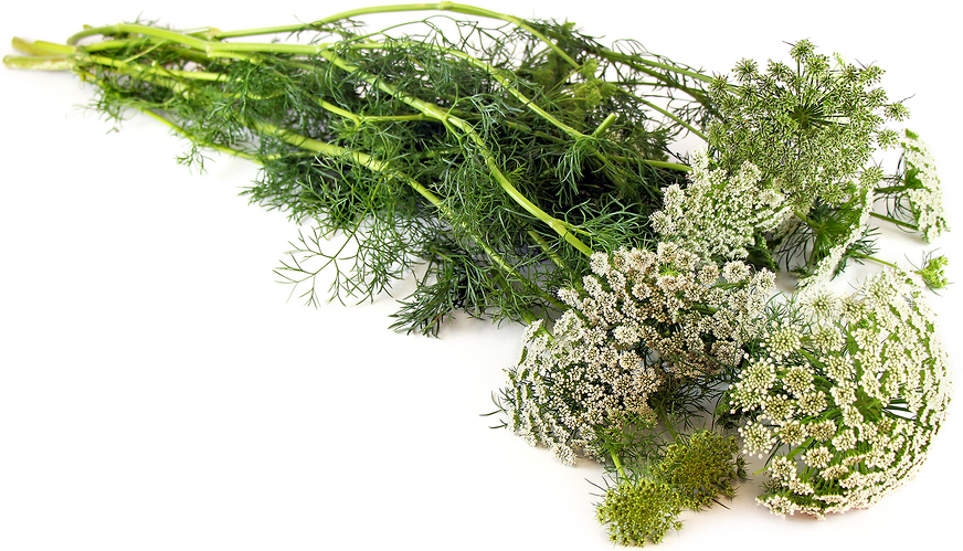Wild Carrot (Queen Anne's Lace)