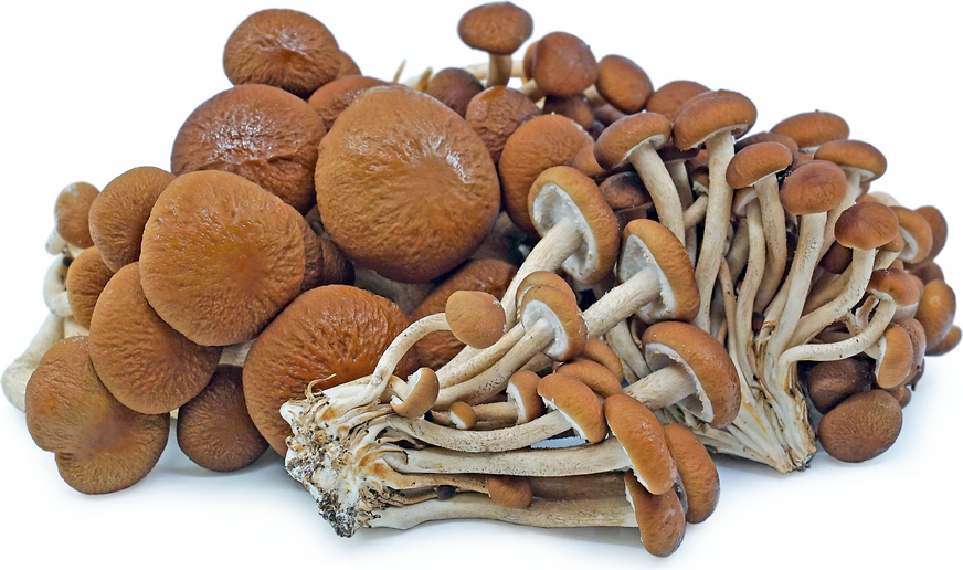 Velvet Pioppini Mushrooms picture