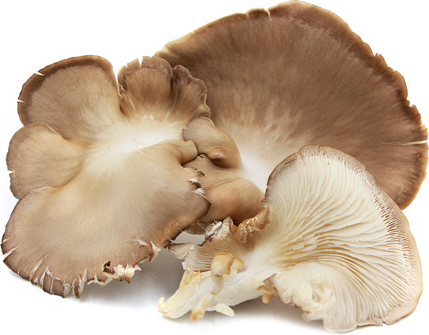Phoenix Tail Oyster Mushroom picture
