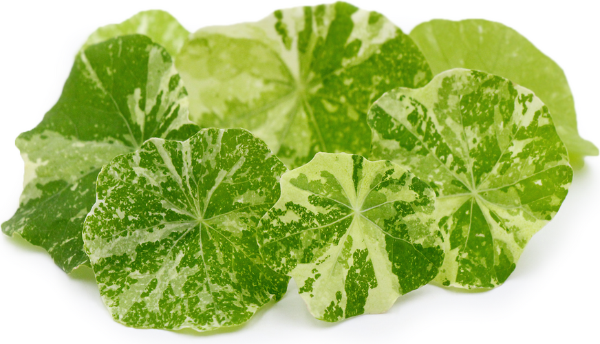 Variegated Nasturtium Leaves picture