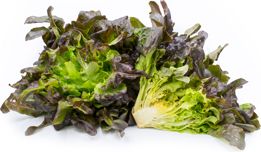 Brunia Lettuce picture