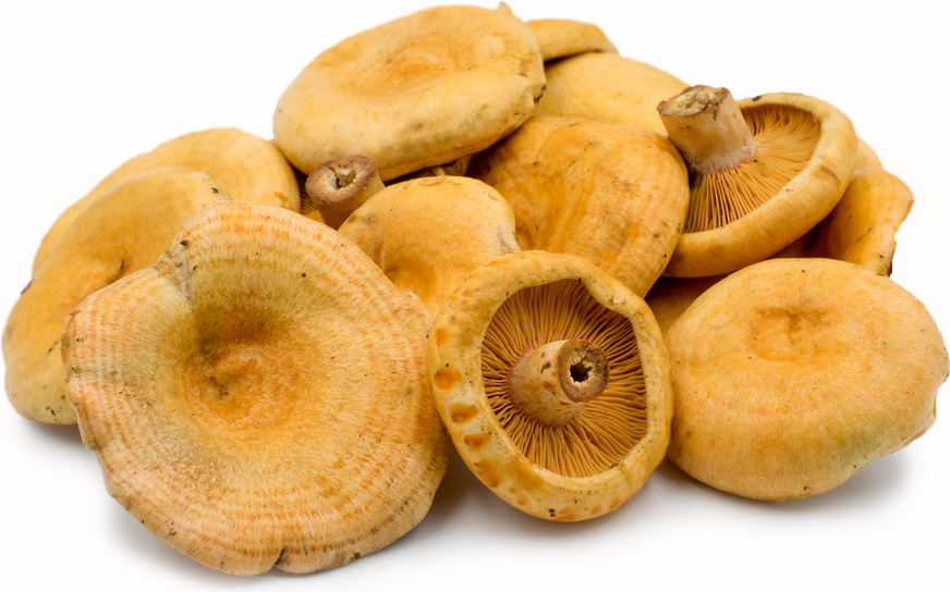 Saffron Milk Cap Mushrooms