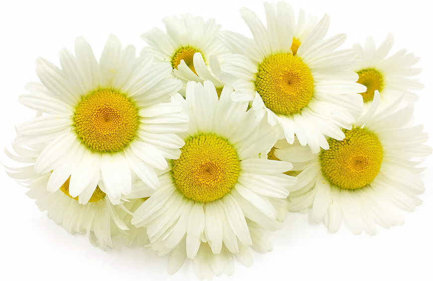 Ox Eye Daisy Flowers picture