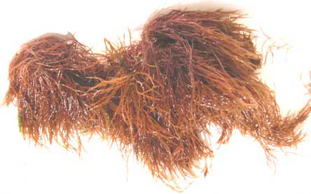 Red Ogo Seaweed
