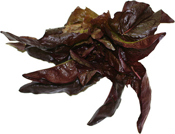 Red Deer's Tongue Lettuce