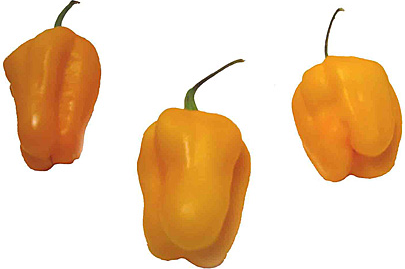 Yellow Habanero Chile Peppers