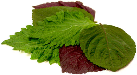 Leaf Shiso Red and Green