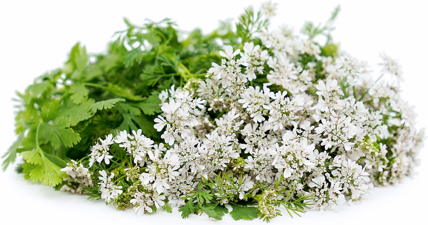 Coriander Flowers picture