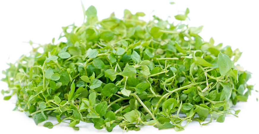 Chickweed picture